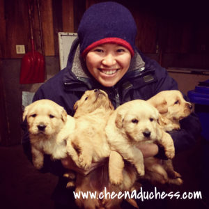 Taking care of Golden Retrivers Pups when I was WWOOFing in Stanstead, Canada
